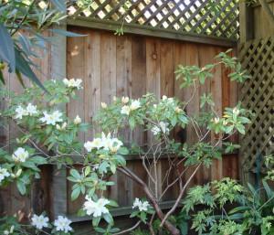 Rhododendron transplanting
