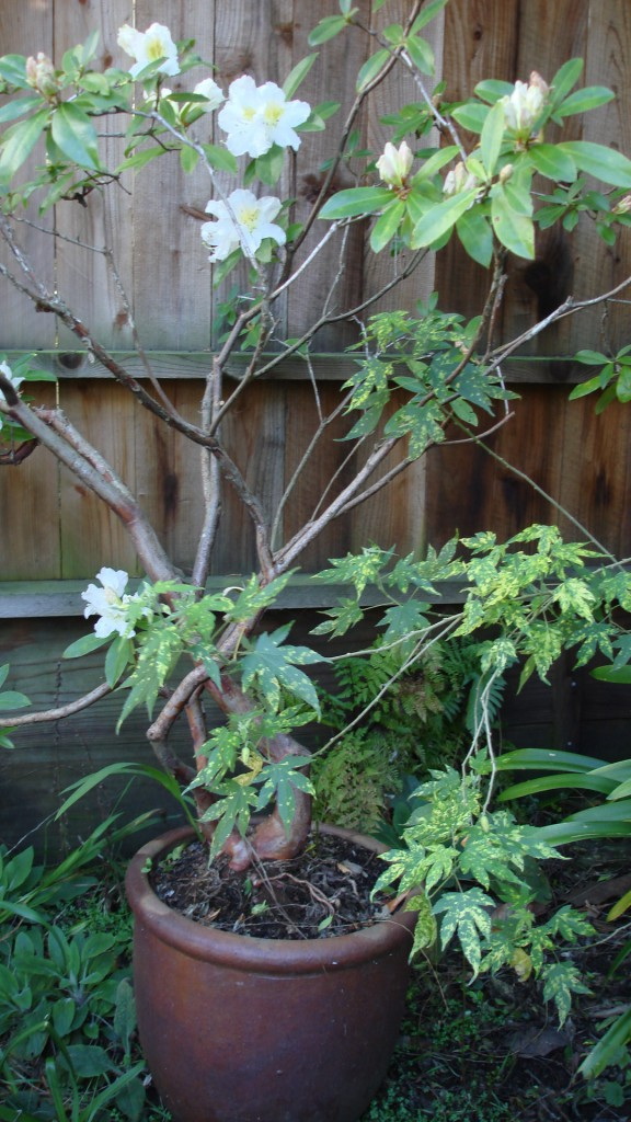 Fragrant rhododendron in a container San Francisco garden